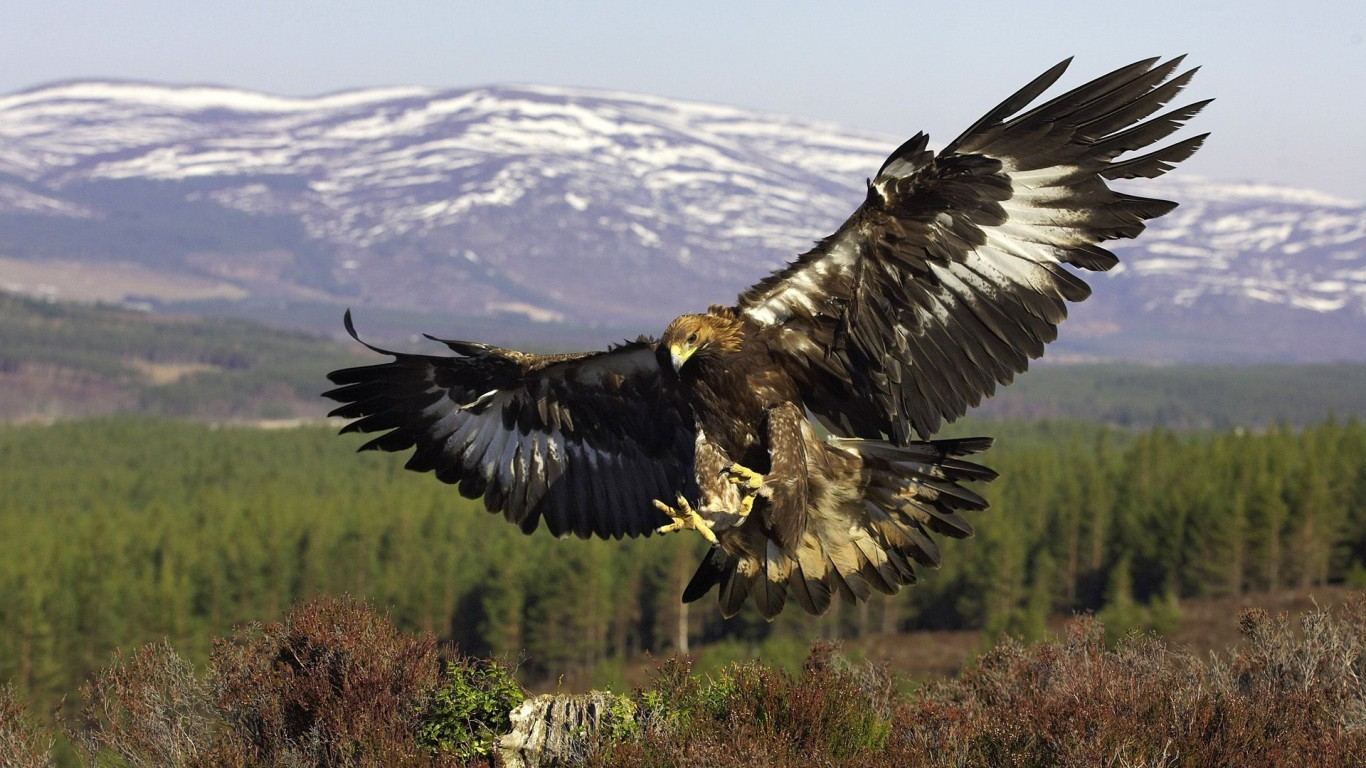 Golden Eagle  Bird  Predator  Flight  Wings