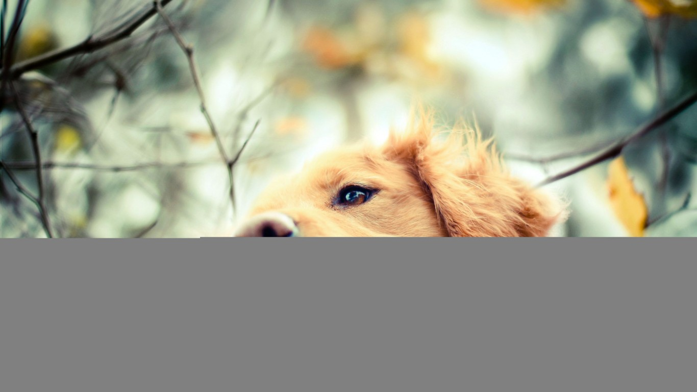 Golden Retriever  Dog  Autumn
