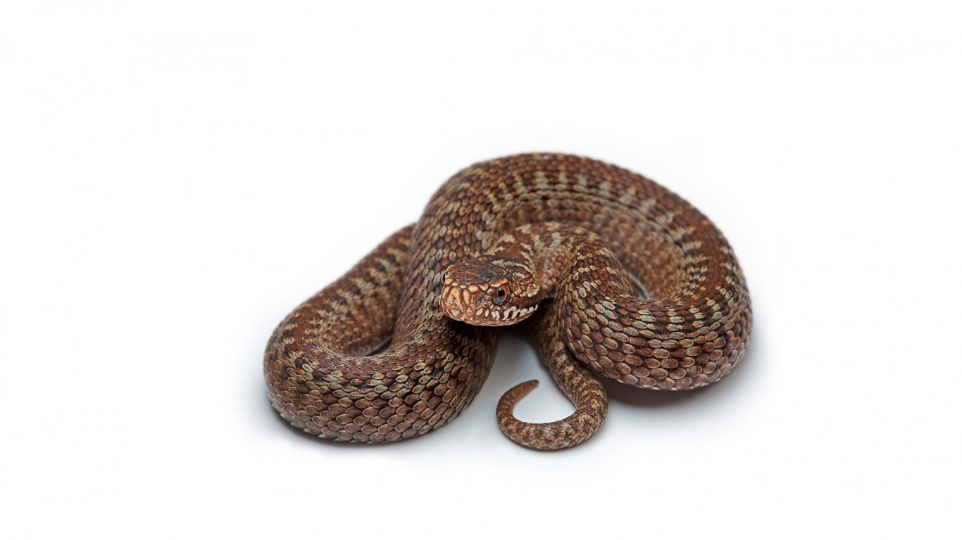 Snake  Brown  White Background