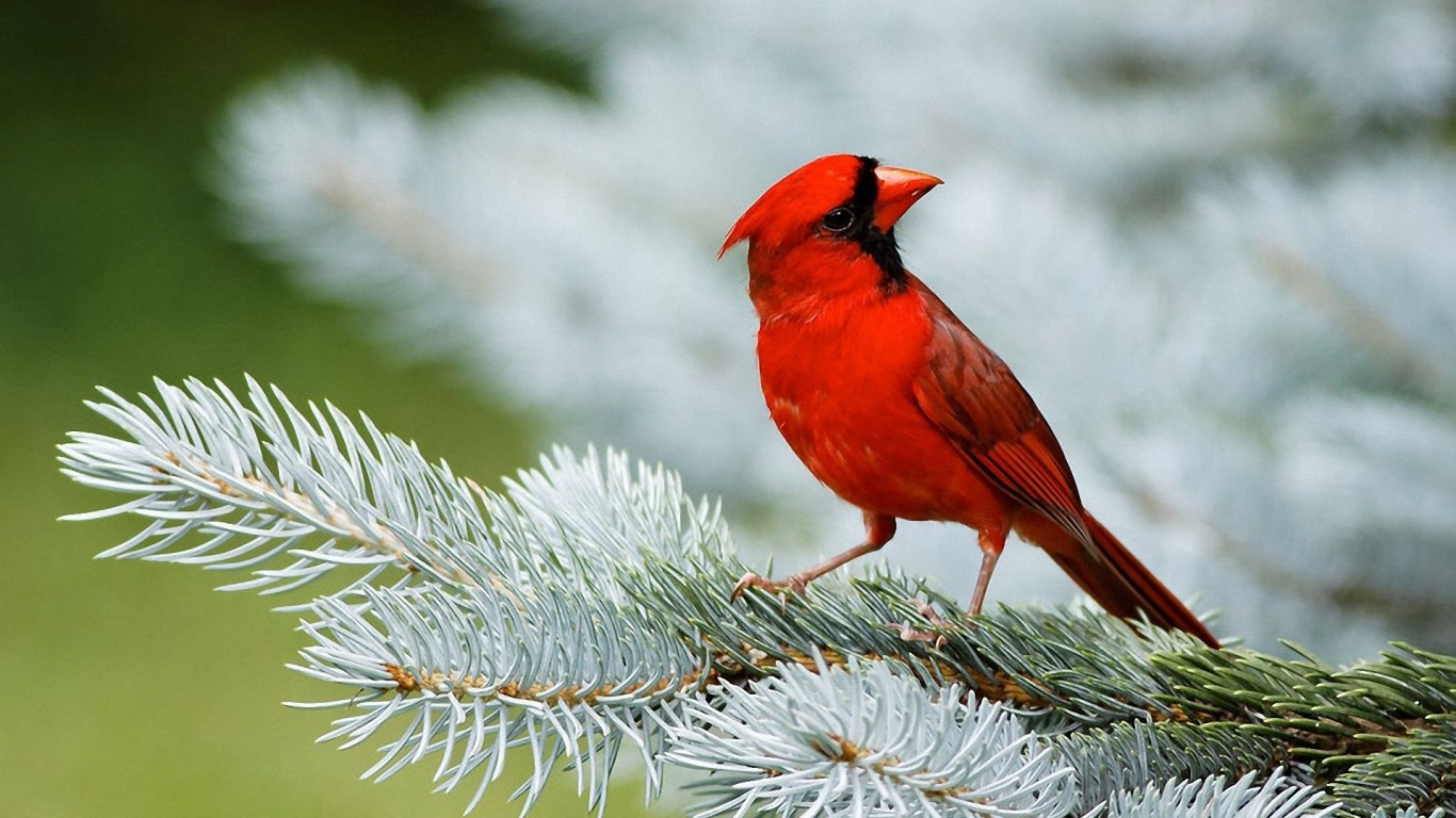 The Red Bird  On Branch  Ate