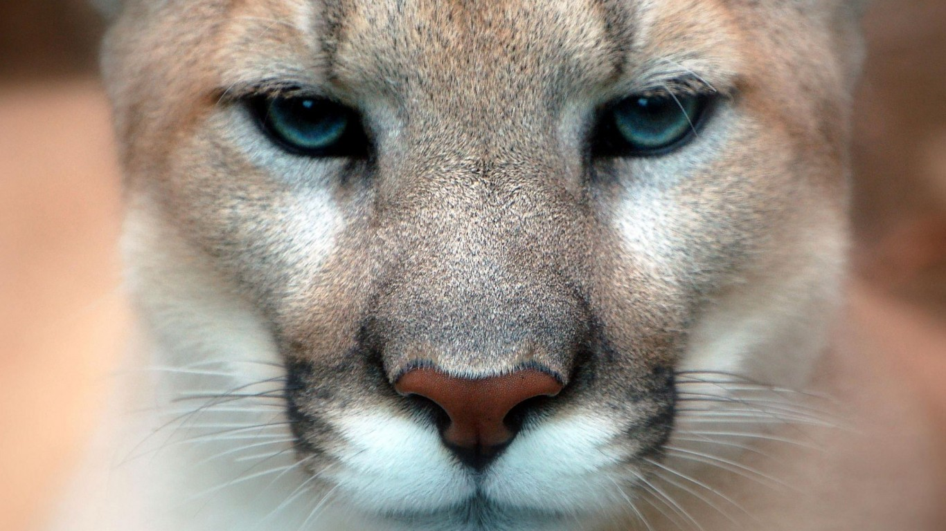 Cougar  Snout  Fuzzy