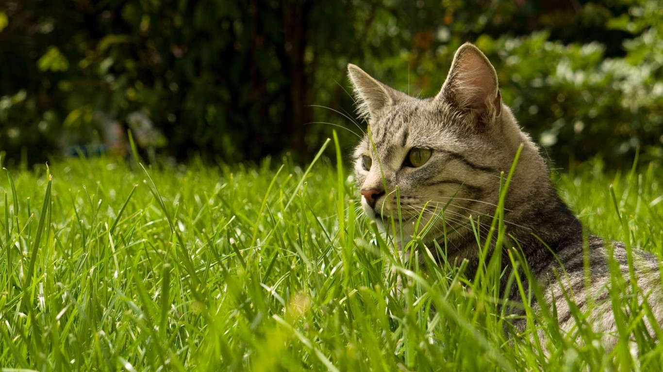 Cat  Grass  Meadow