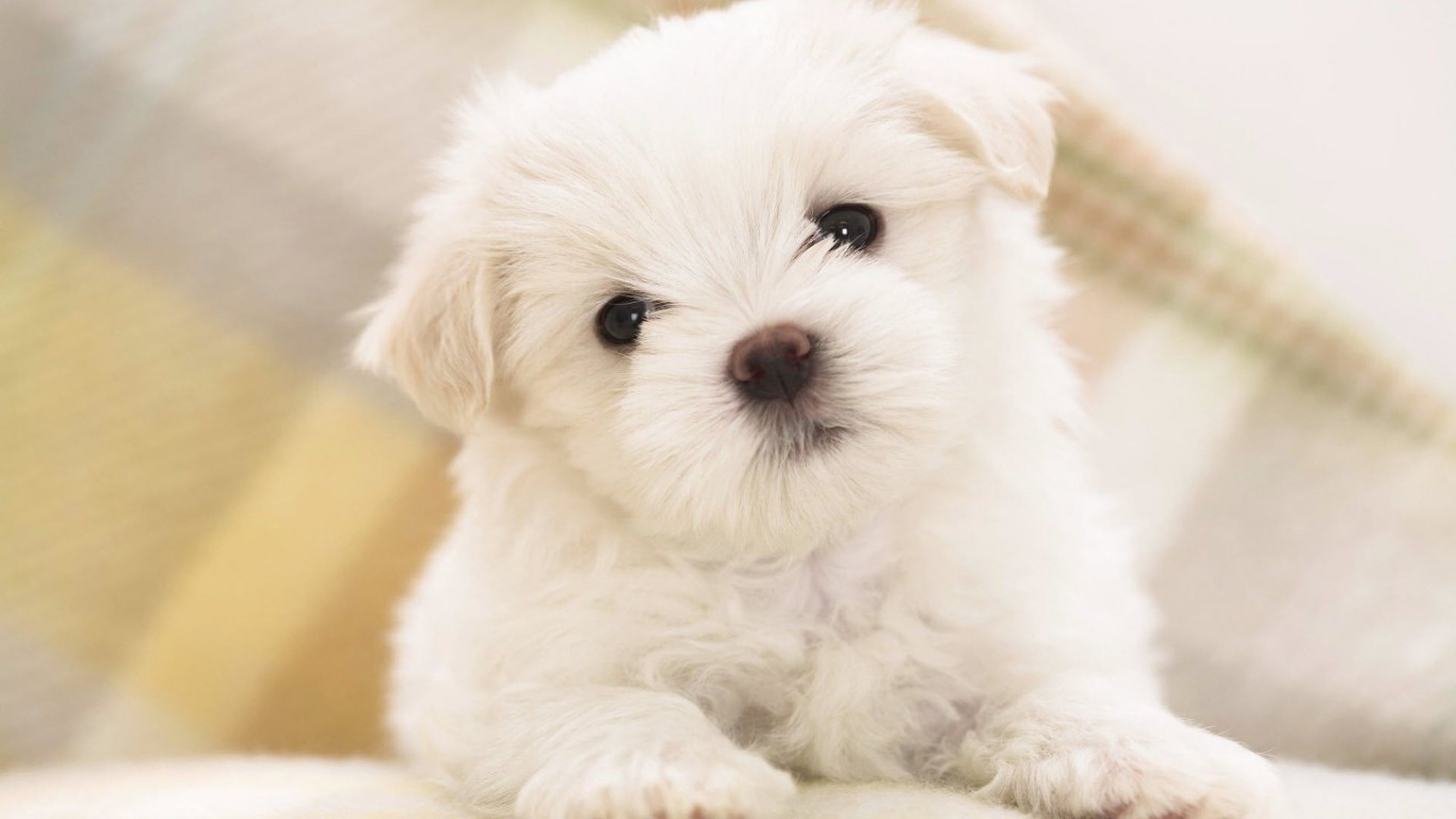 Puppy  Cute  White