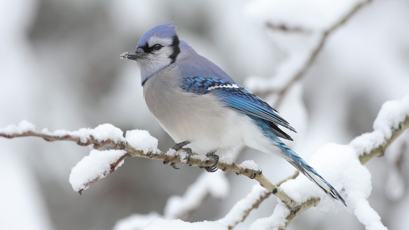 Branch  Winter  Snow  Bird