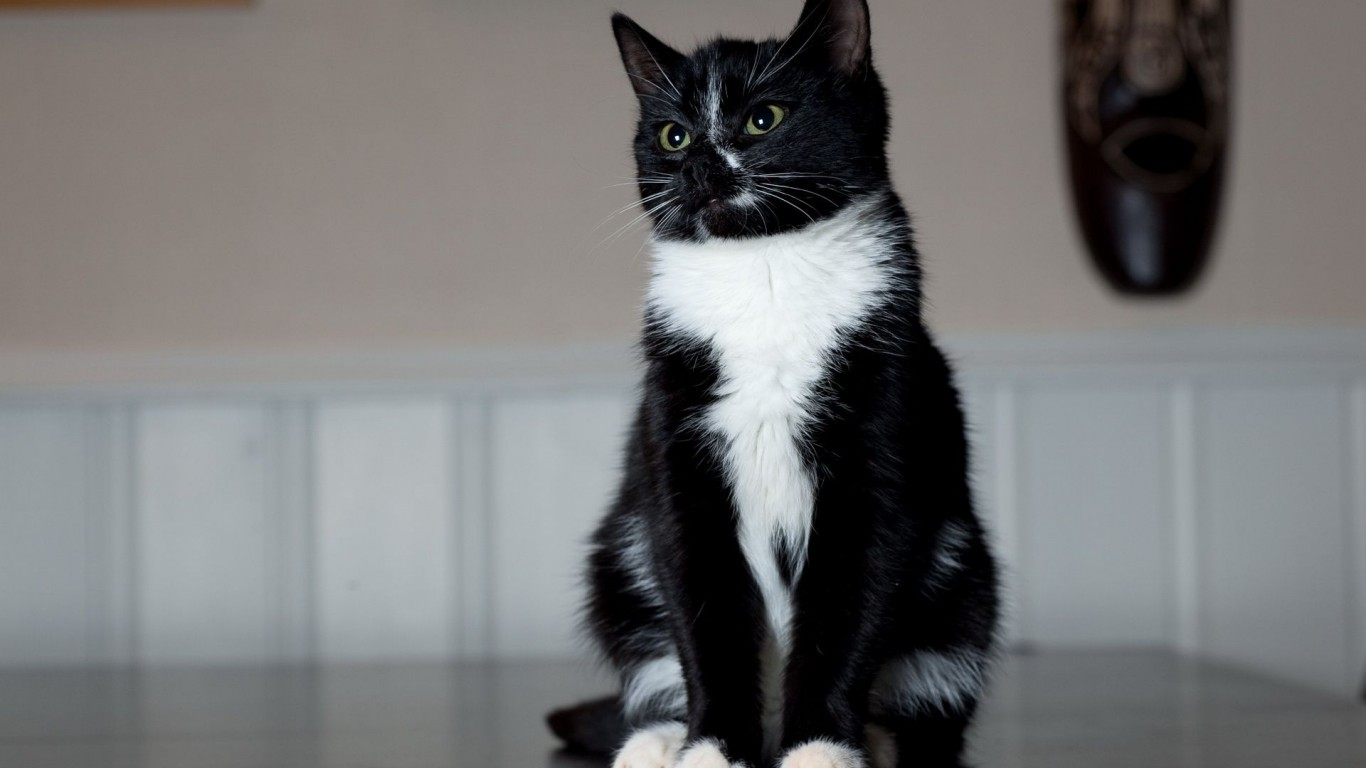 Cat  Sitting  Black-White  Feet