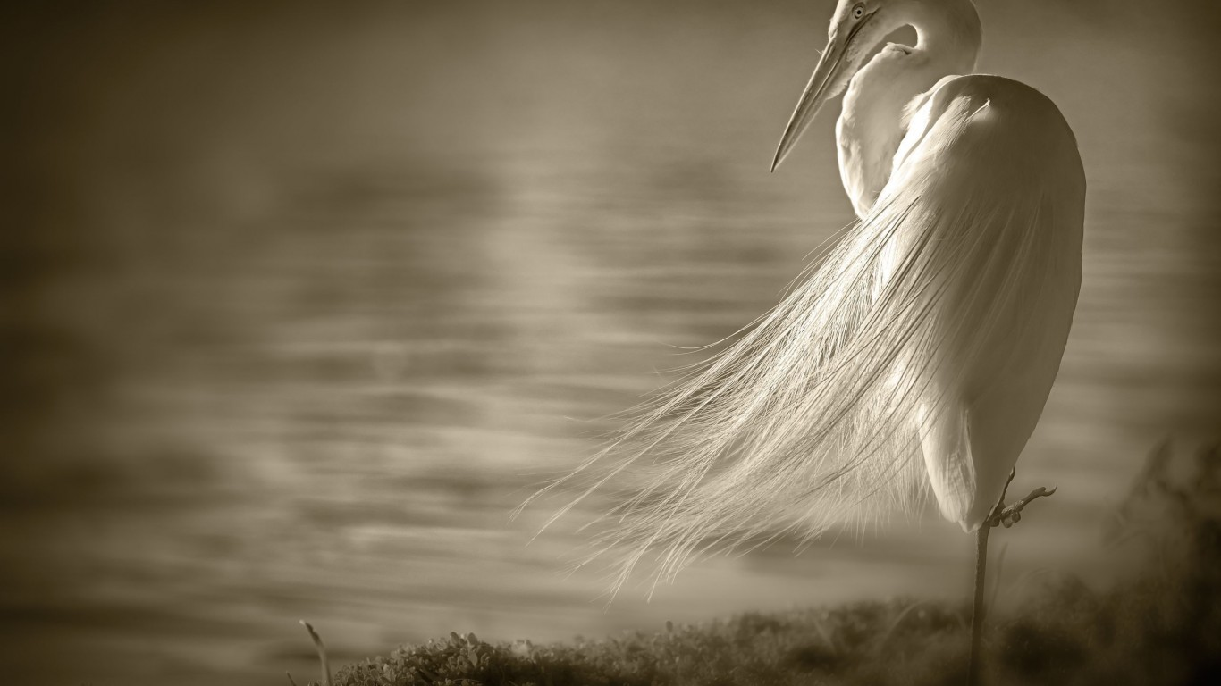 Egret  Bird  Wings