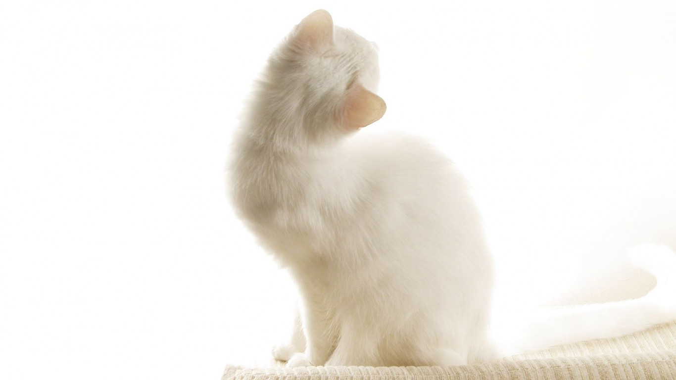 White  British  Shorthair  Ears