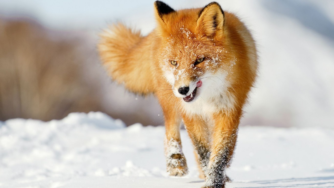 Ginger  Language  Winter  Snow  Fox
