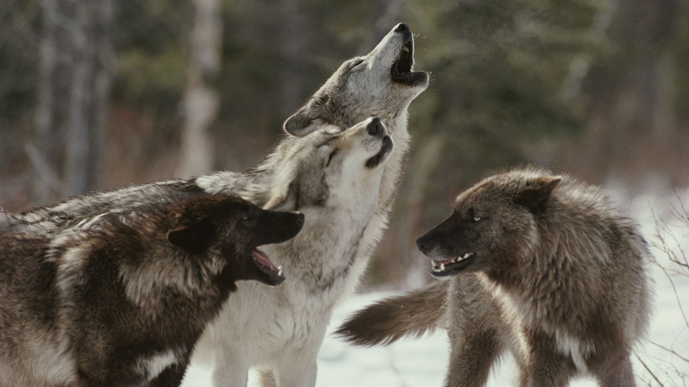 Pack  Wolves  Howl