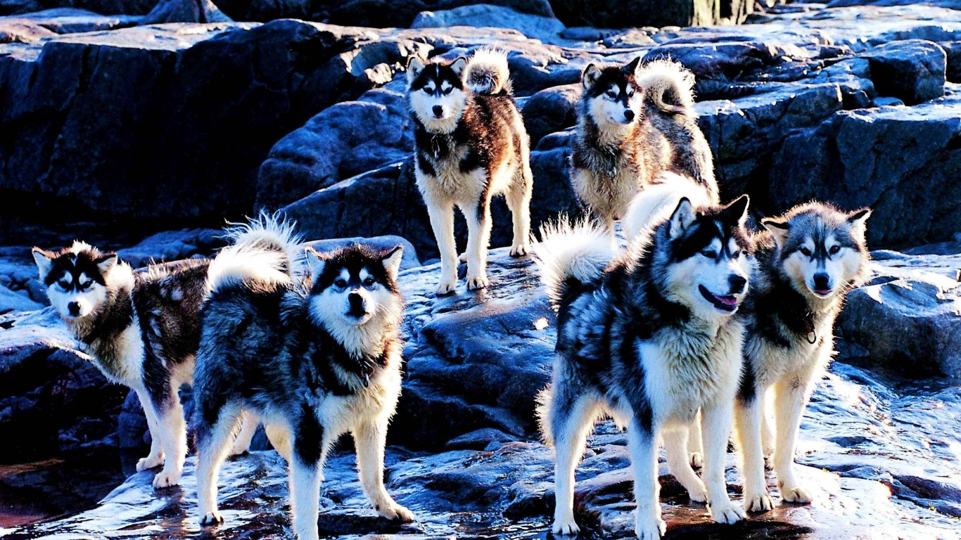 Husky  Dogs  Breed