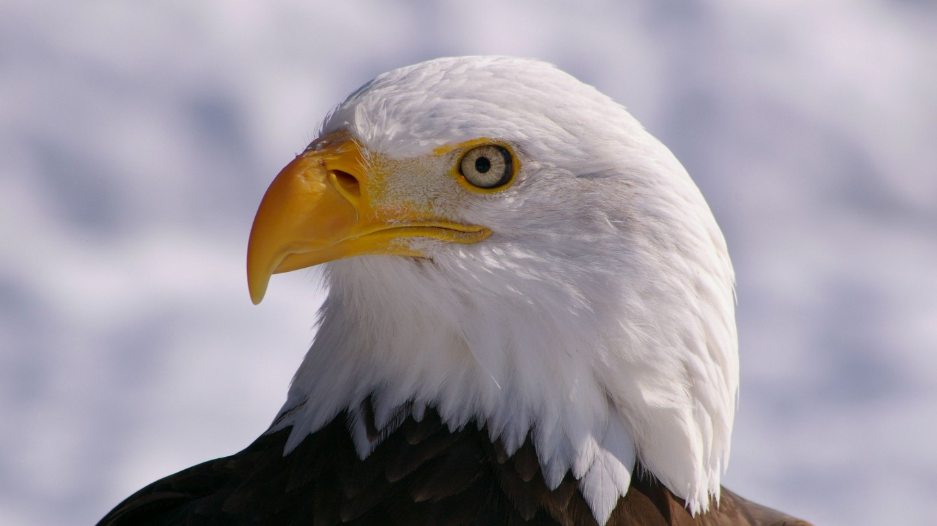Bird  Bald Eagle  View  Profile