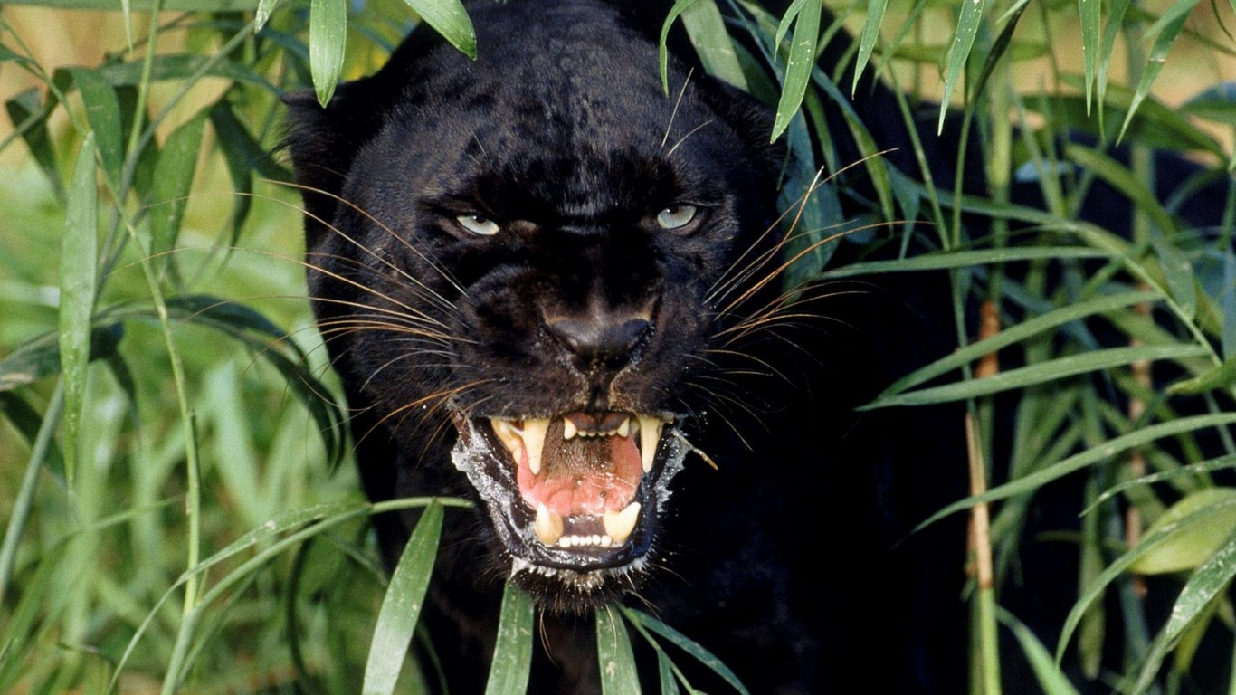 Panther  Shrubs  Canines
