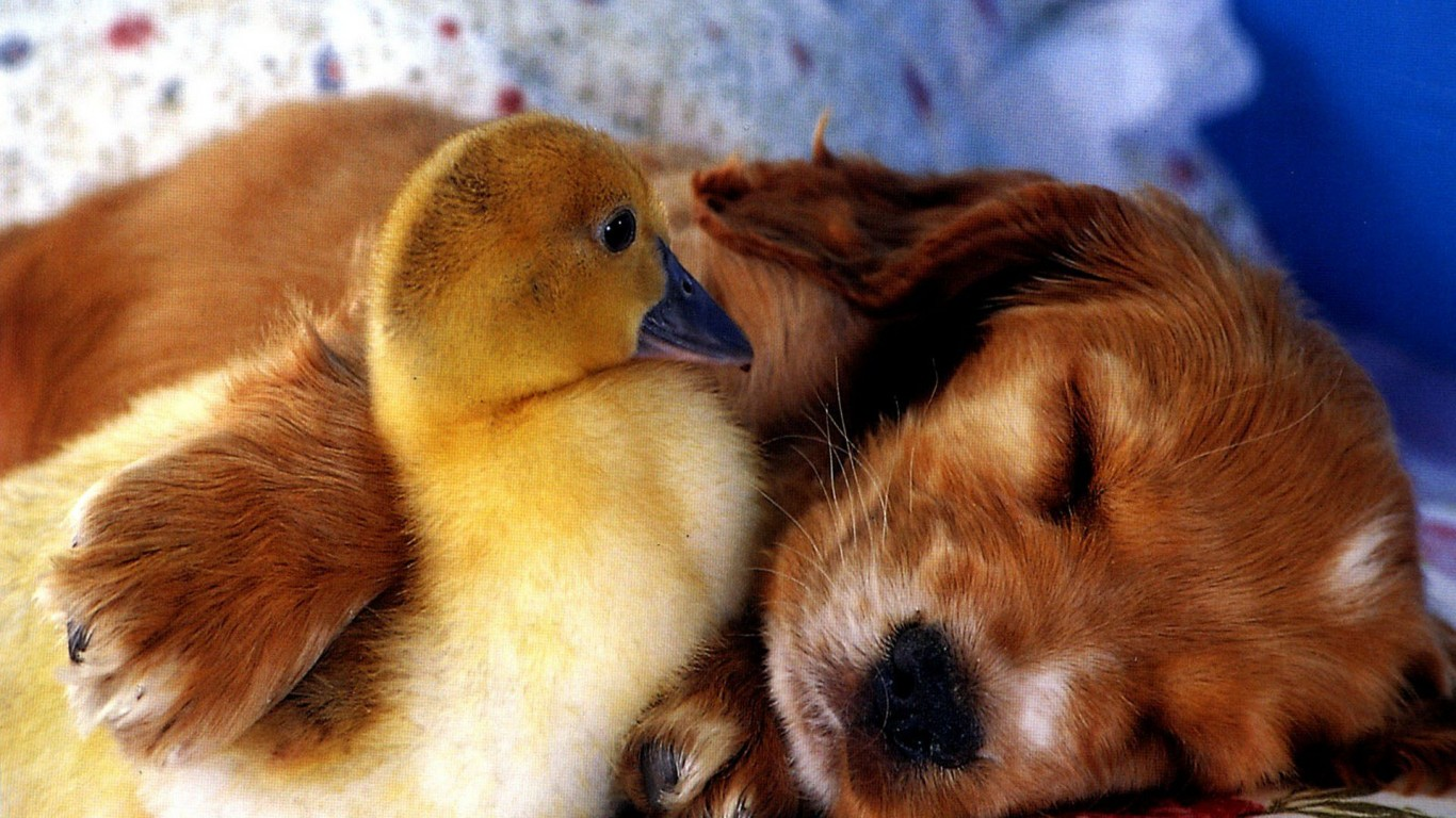 Puppy  Duckling  Friends
