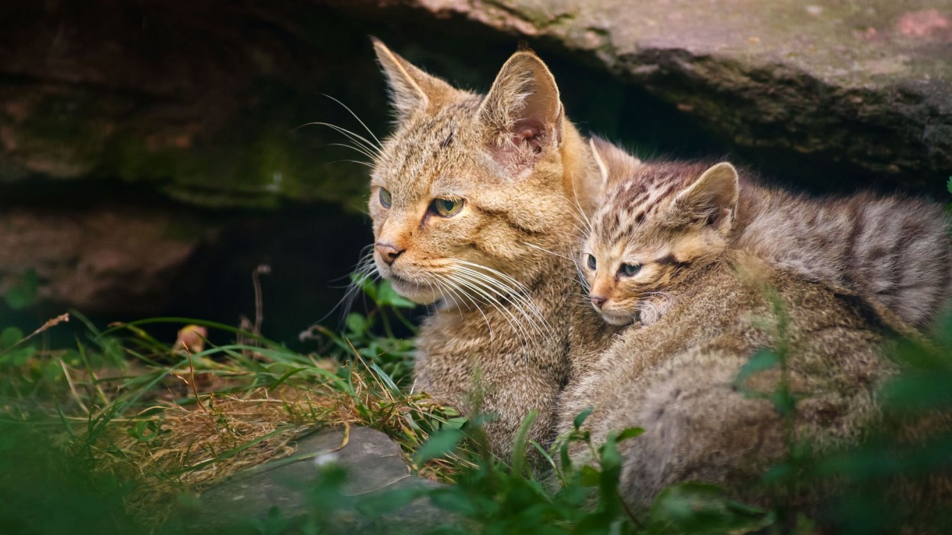 Wildcat  Kitten  Motherhood 01