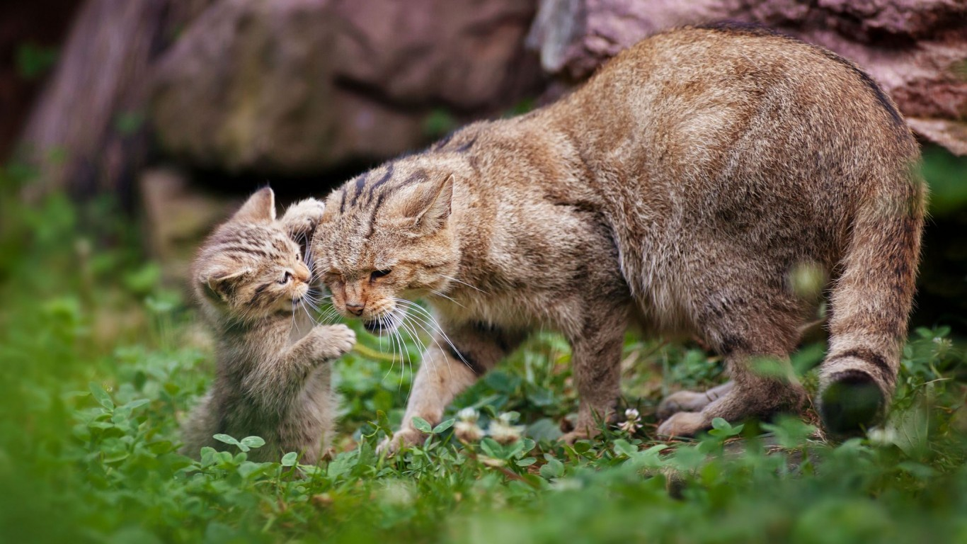 Wildcat  Kitten  Motherhood