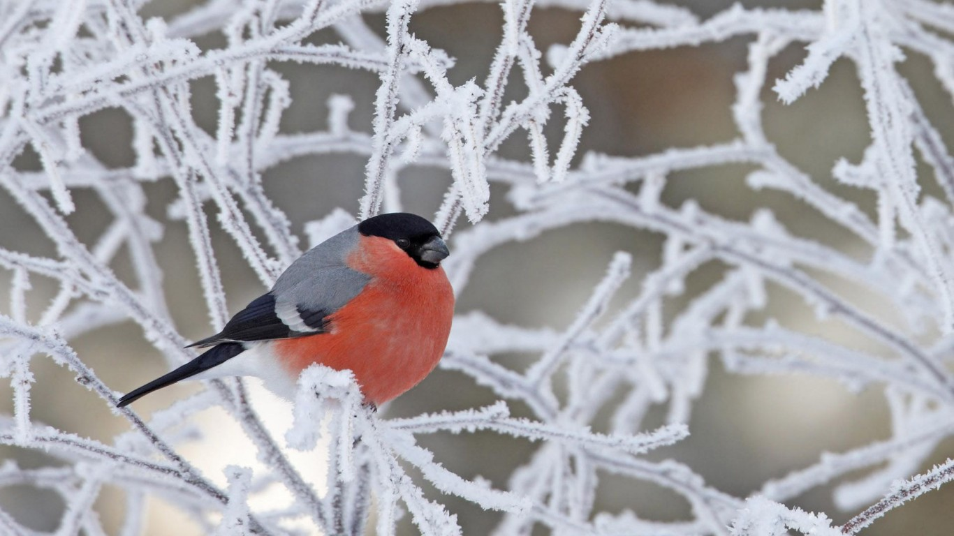 Bullfinch  Bird  Branches  Rime  Snow  Winter
