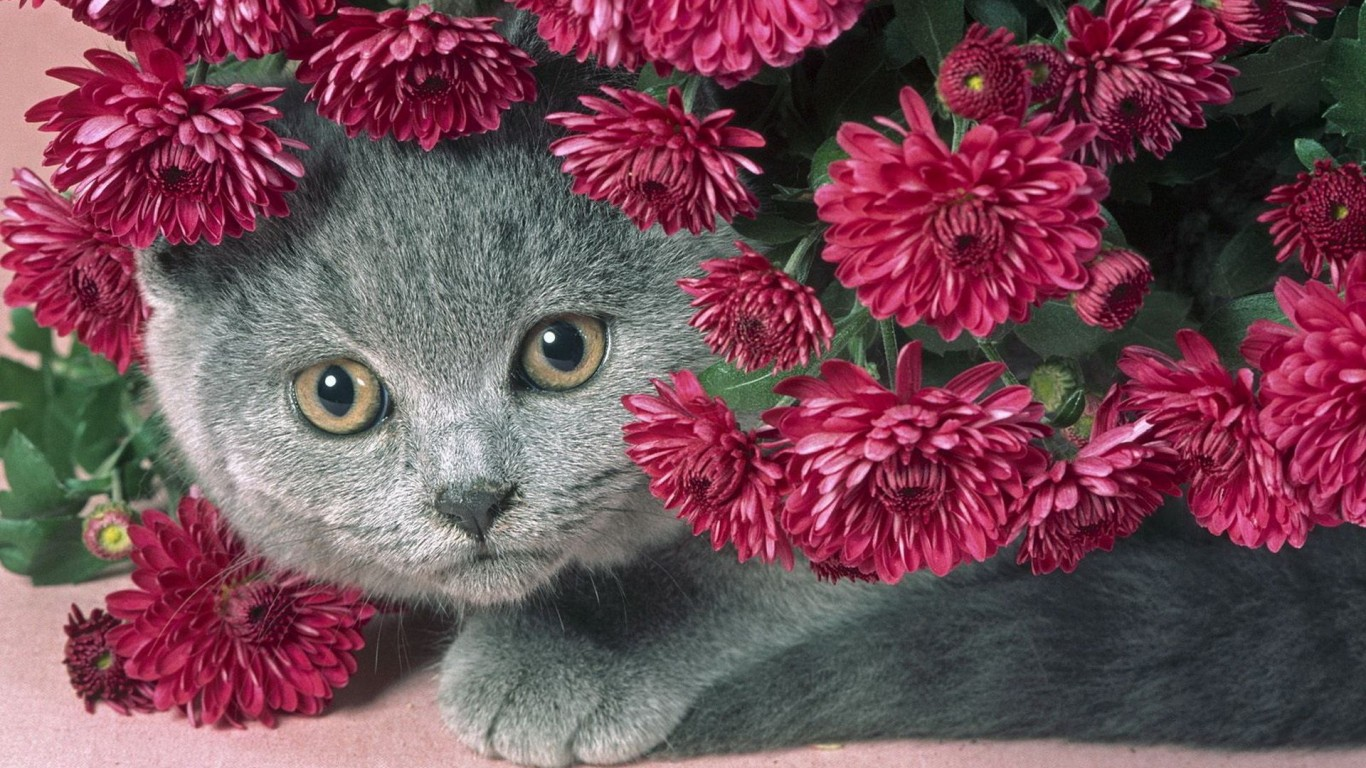 Cat  Gray  Flowers  Serenevye  A Fat Cat  Beautiful