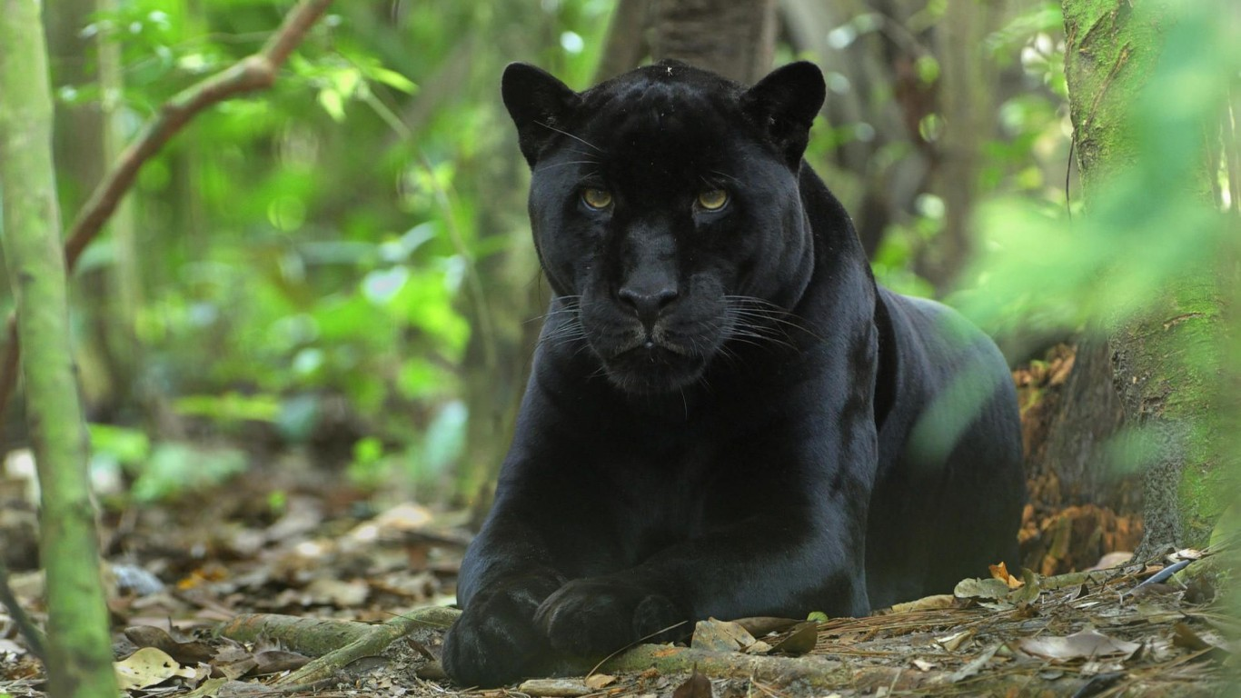 Panther  In The Jungle  Amazon
