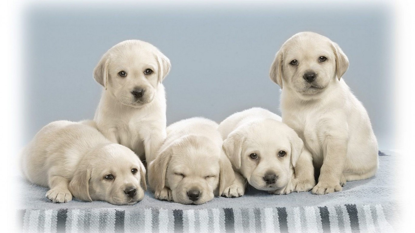 Puppies  White  Handsome
