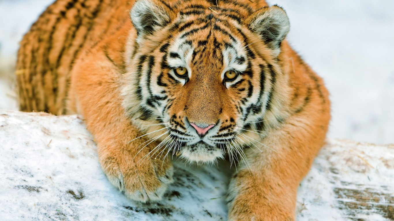 Tiger Cub  View  Snow