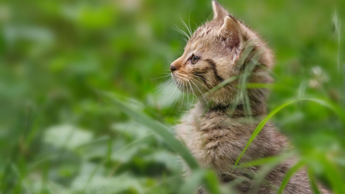 Wildcat  Kitten  Grass