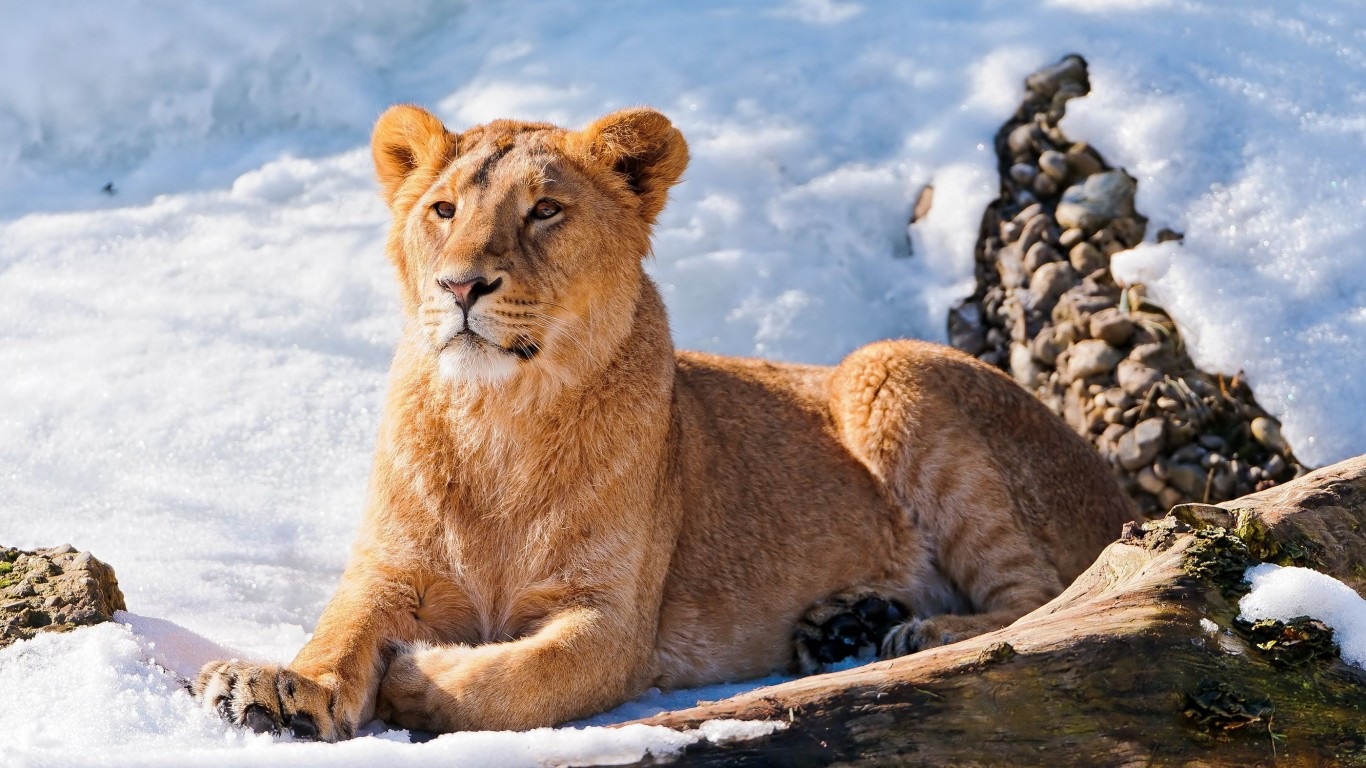 Lion  Snow  Winter