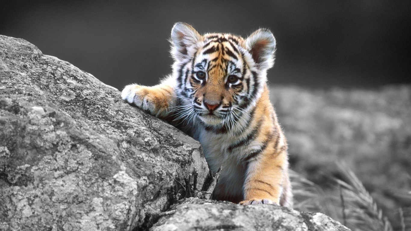 Tiger Cub  Stone  Black And White