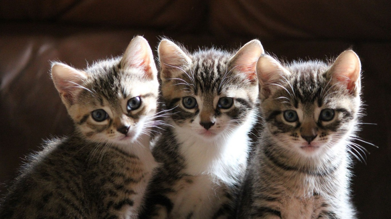 Kittens  Three  Sit  Watch