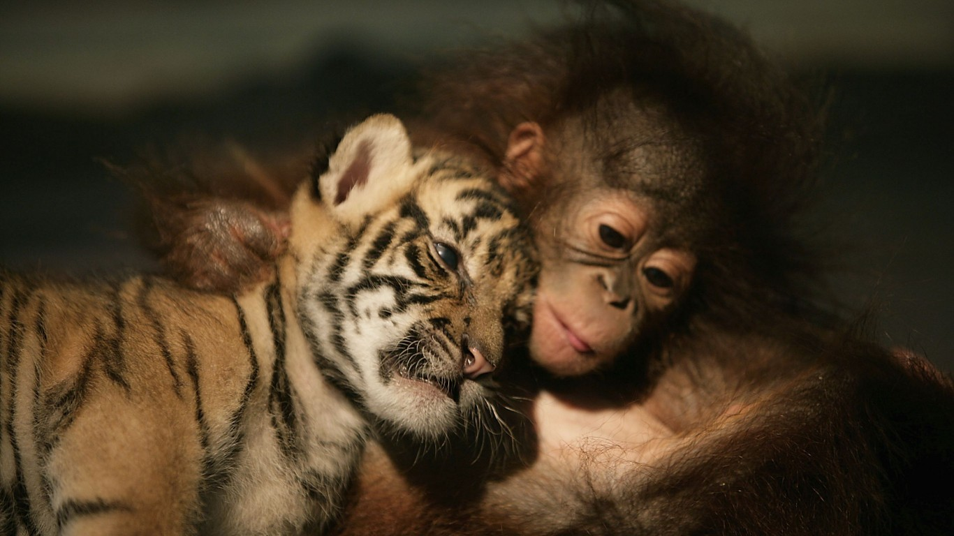 Tiger Cub  Orangutan  Friends