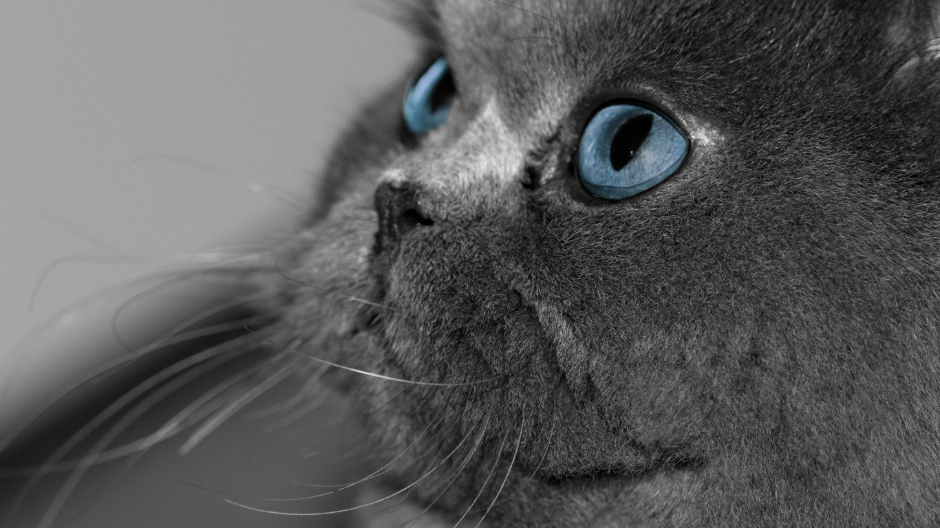 Cat  Gray  Eyes  Blue  View