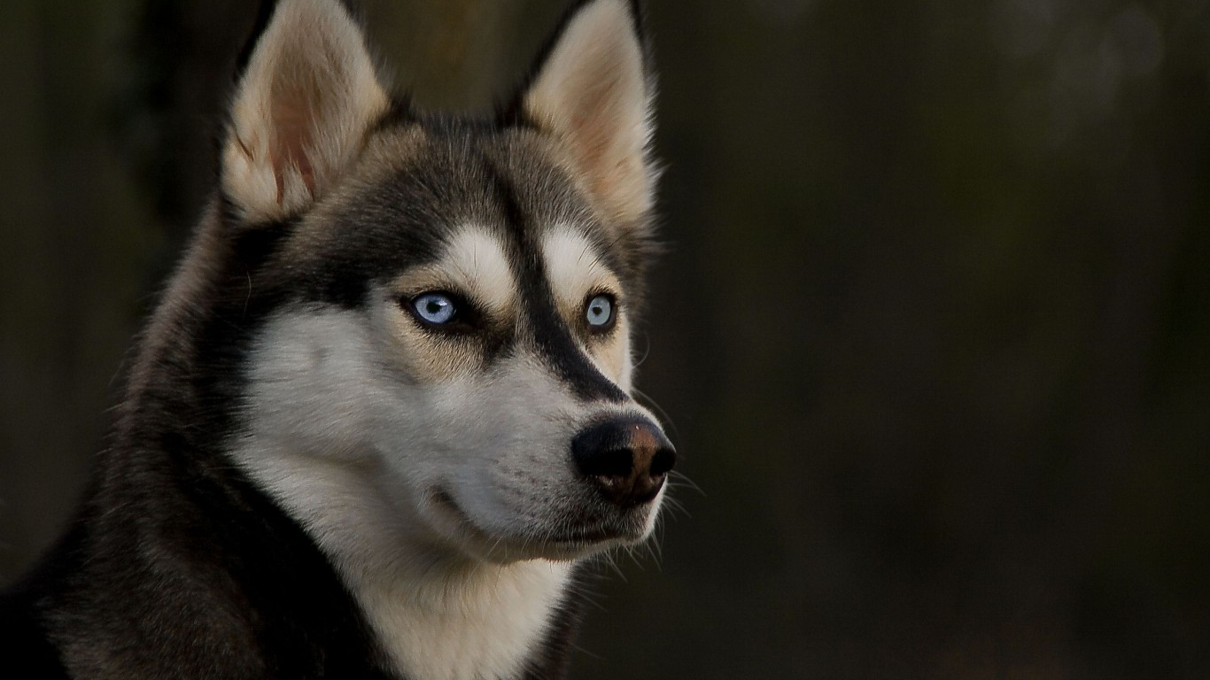 Dog  Husky  Eyes  View  Ears